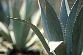 Agaves in open air