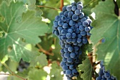 Red wine grapes on the vine (vineyard; Temecula, California)