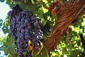Rotweintrauben am Weinstock (Weinberg: Temecula, Kalifornien)