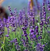 Blühender Lavendel auf dem Feld