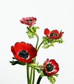 Rote Anemonenblüten (bot. Anemone coronaria; poppy anemone)