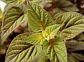 Rose-leaf sage (Salvia involucrata)