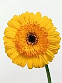 A Yellow Gerber Daisy