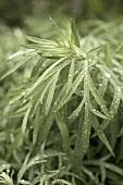Western Mugwort Plant
