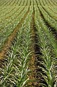 A Pineapple Field in Maui
