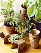 Assorted Herbs Growing in Pots; Oregano, Sage and Basil; Empty Potting Containers
