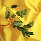 Stem of Oregano Plant with Oregano Leaves, Yellow Background