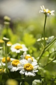 Feverfew Growing Outside