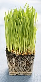 Wheat grass sprouting out of a cube of compost