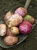 Freshly picked potatoes on spade