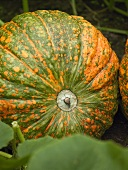 Orange and green pumpkin in a vegetable bed