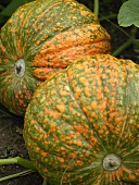 Orange and green pumpkins in a vegetable bed
