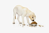 Dog (standing) eating dry dog food out of dish
