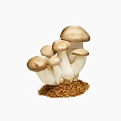 King Trumpet Mushrooms on a White Background