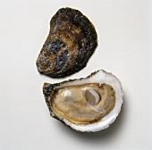Glidden Point Oyster