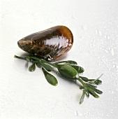 Miesmuschel mit Algen