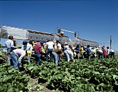 Field Workers Harvesting Romaine Lettuce