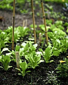 Pak choi plants in vegetable garden