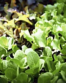 Various lettuce plants (filling the picture)