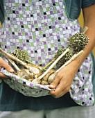 Frau hält frisch geernteten Knoblauch in ihrer Schürze