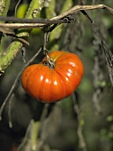Beefsteak tomato on the plant