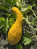 Yellow squash on the plant