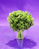 Large Bunch of Curley Parsley on a Purple Background