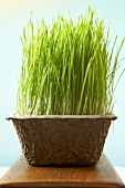 Wheat Grass Growing in Cardboard Container