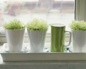 Fresh sprouts growing in pots on a window ledge