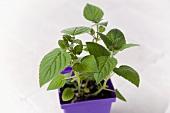 Honeydew Melon Sage Growing in a Pot