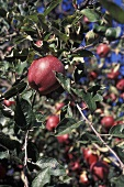 Red Delicious Apples in the Tree
