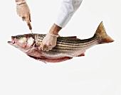 Kopf eines Seebarsches wird mit dem Messer abgetrennt
