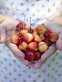 Hand Holding White Cherries