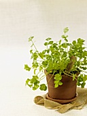 Potted Cilantro Plant