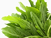 Frischer Eichblattsalat