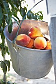 Bucket of Peaches Hanging on a Ladder
