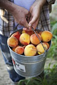 Man Holding Bucket of Freshly Picked Organic Elberta Peaches
