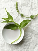 Fresh Sage on White Plate
