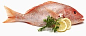 Red Snapper on White Background with Lemon