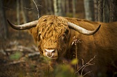 A Scottish Highland Cow