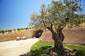 Bella Vineyards and  in Healdsburg, CA Sonoma County; Olive Tree