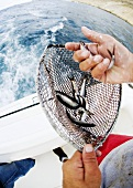 Sardines in Net; Deep Sea Fishing Boat