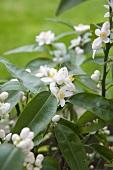 White Flower Bush Outside