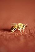 Honeybee on Red Background