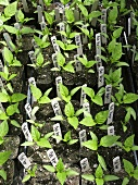 Many Bell Pepper Plants in Containers