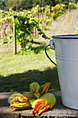 Fresh Organic Courgette Flowers Beside a Bucket