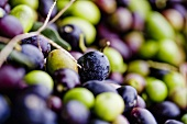 Colorful Harvested Olives; Tuscany