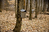 Maple Grove with Buckets on Trees; Ohio