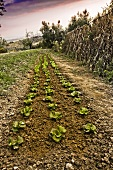 Cabbage Rows in a Garden
