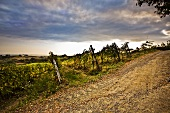 Vineyard Under Cloudy Sky